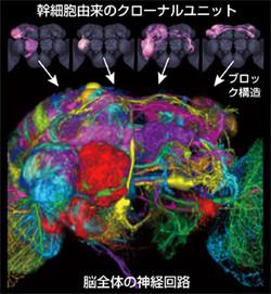 東大、昆虫の脳の神経回路の基本構造を解明