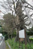 「名木」虫に食われ無残な丸裸、県指定の天然記念物/海老名