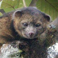 昔は動物園にいたアライグマ「新種」南米で発見